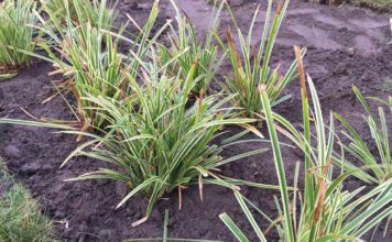 "Carex Morrowii ""Ice Dance"""